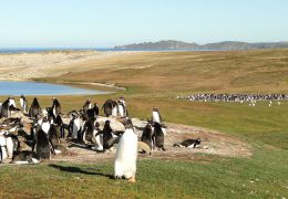 Falkland Island penguins