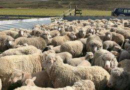 Falkland Wool Growers - sheep
