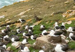 Falkland Island gulls